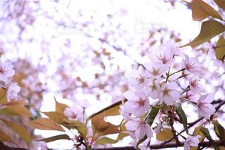 桜の写真・画像素材[1648866]