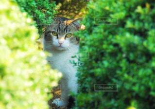 猫の写真・画像素材[56589]