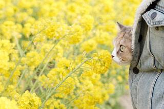 菜の花の匂いを嗅ぐ猫の写真・画像素材[3289100]