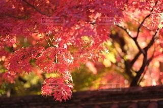紅葉の写真・画像素材[3893105]