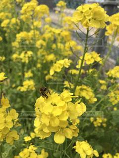 菜の花の中のミツバチの写真・画像素材[1630021]