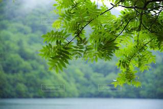 霧の中から射し込む光を受ける葉の写真・画像素材[1643473]