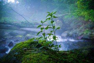 尚仁沢湧水×霧×新緑の写真・画像素材[1643780]