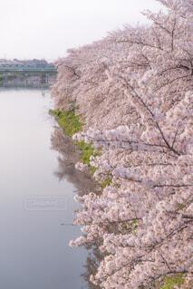 春の蓮田の写真・画像素材[1993920]