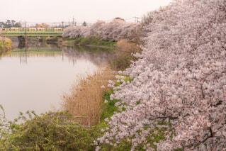 春の蓮田の写真・画像素材[1993992]