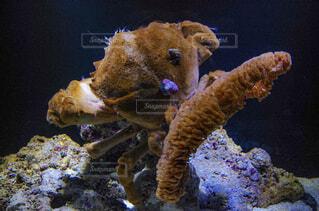 珍しいカニ すみだ水族館の写真・画像素材[2117985]