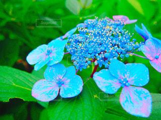 紫陽花の花の写真・画像素材[1632417]
