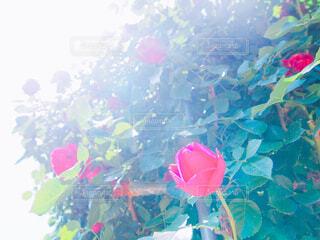 薔薇のつぼみの写真・画像素材[1632422]