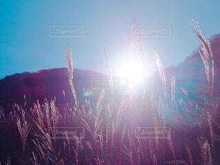 朝日に照らされたススキの写真・画像素材[1632474]