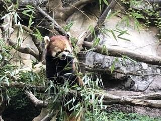 葉を食べるレッサーパンダの写真・画像素材[1646094]