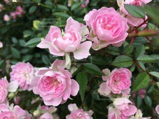 ピンクの薔薇の写真・画像素材[1648004]