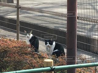 柵の前でこちらを振り向く二匹の猫の写真・画像素材[1650772]