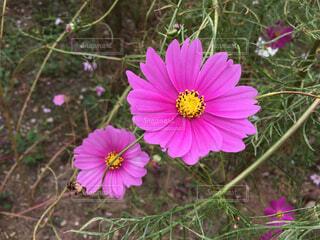 赤紫のコスモスのアップの写真・画像素材[1650835]