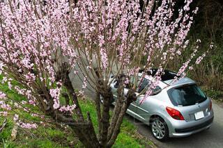 サクラの花の満開の下、プジョーの写真・画像素材[1646356]