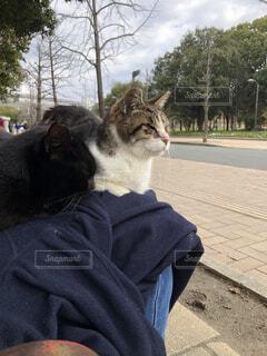 膝に座っている2匹の猫の写真・画像素材[3044070]