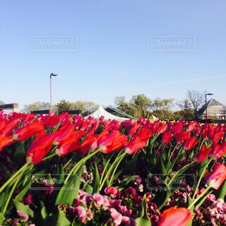 チューリップ畑🌷の写真・画像素材[1635718]
