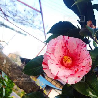 椿の花と空の写真・画像素材[1636279]