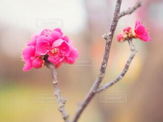 梅の花の写真・画像素材[1840108]