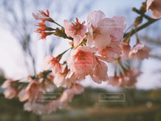 桜の花の写真・画像素材[1872155]