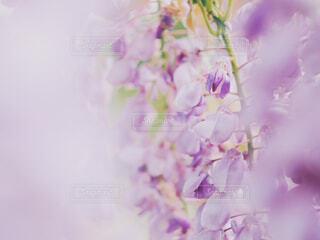 藤の花の写真・画像素材[2075090]