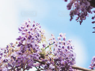 藤の花の写真・画像素材[2075092]