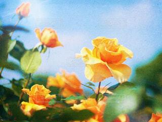薔薇の写真・画像素材[2144733]