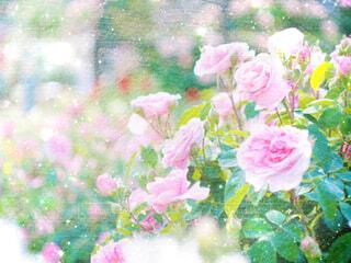 薔薇の写真・画像素材[2144734]