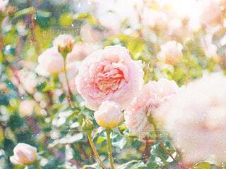 薔薇の写真・画像素材[2144735]