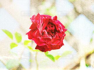 薔薇の写真・画像素材[2144736]