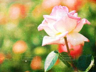 薔薇の写真・画像素材[2144740]