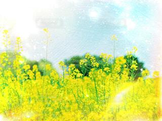 菜の花の写真・画像素材[2174082]