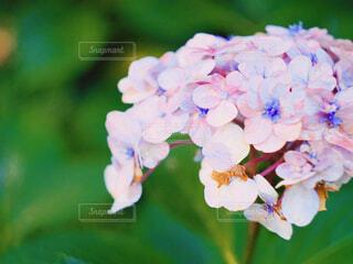 紫陽花の写真・画像素材[2287590]