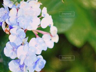紫陽花の写真・画像素材[2287592]