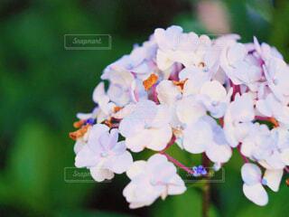 紫陽花の写真・画像素材[2287593]