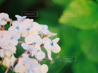 紫陽花の写真・画像素材[2287594]