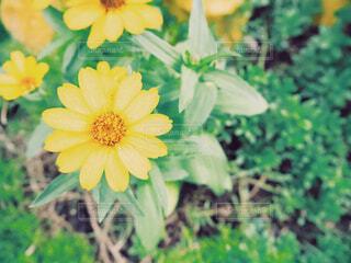 黄色のお花の写真・画像素材[2287595]