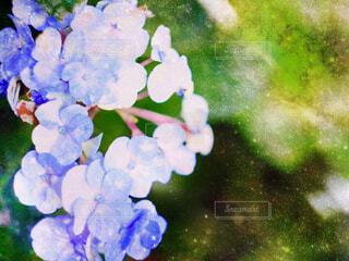 紫陽花の写真・画像素材[2287611]