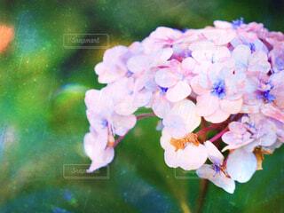 紫陽花の写真・画像素材[2287612]
