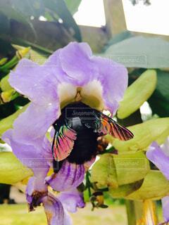 マレーシアのクマバチ②の写真・画像素材[1637346]