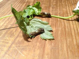 パクチーに舌鼓を打つキアゲハの幼虫の写真・画像素材[1637377]