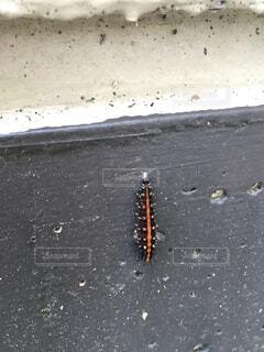 ツマグロヒョウモンの幼虫の写真・画像素材[1637381]