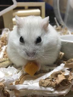 食べ物を食べる齧歯動物の写真・画像素材[1637410]