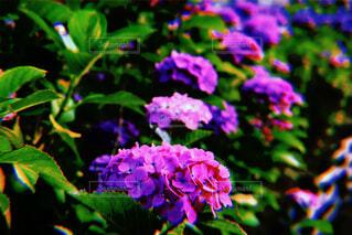 紫陽花の写真・画像素材[2218745]
