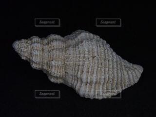 巻き貝の殻の写真・画像素材[1850646]