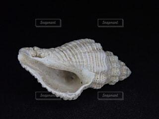 巻き貝の殻の写真・画像素材[1850647]
