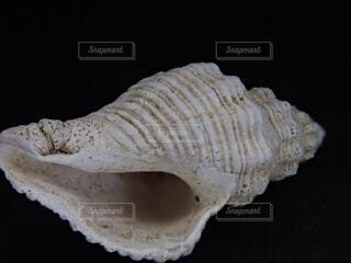 巻き貝の殻の写真・画像素材[1850648]