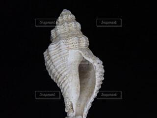 巻き貝の殻の写真・画像素材[1850651]