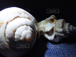 巻貝の写真・画像素材[2290333]