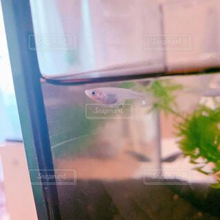メダカの産卵の写真・画像素材[1754021]