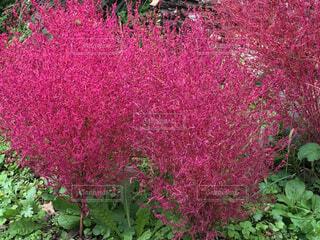 緑の葉とピンクの紅葉の写真・画像素材[1638703]